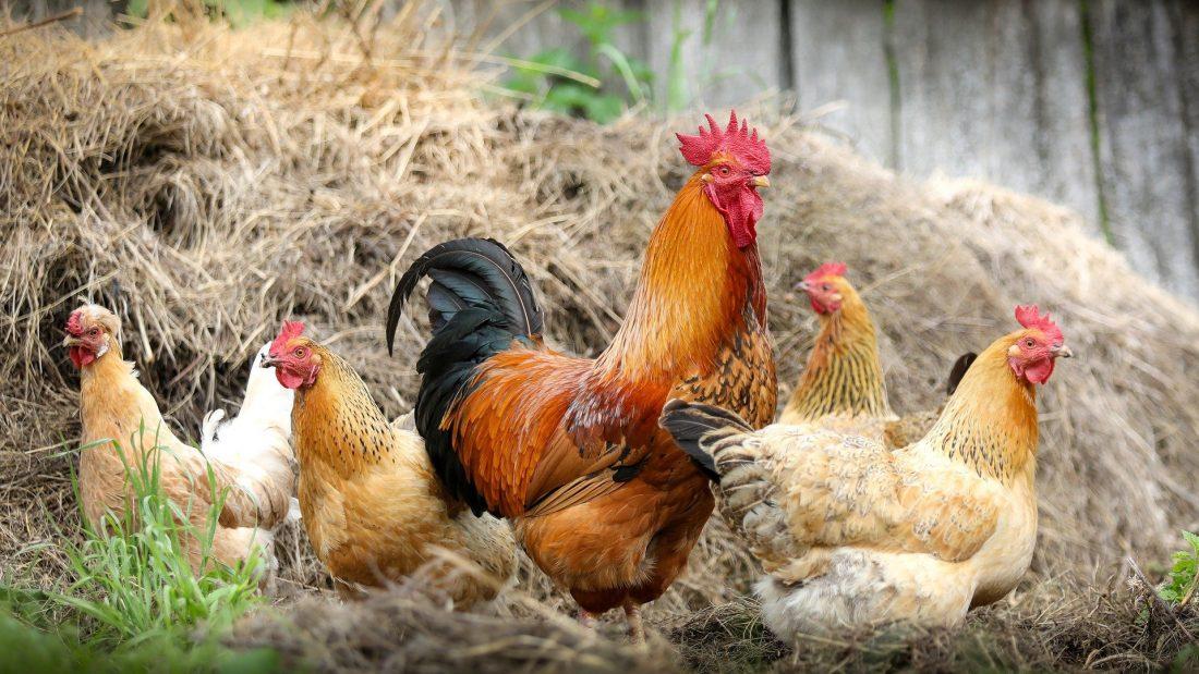 Gruppe von Hühner